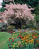 Malus floribunda (Japanischer Wildapfel) in Blüte mit Frühlingsrabatte, bepflanzt mit Goldlack (Erysimum), Vergissmeinnicht (Myosotis), Primeln (Primula) und Tulpen.