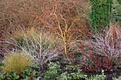 RUBUS THIBETANUS 'Silver FERN',C Alba 'KESSELRINGII & Salix X SEPULCRALIS 'ERYTHROFLEXUOSA' UNIVERSITY BOT Garden,CAMBS
