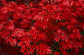 Detail of BRILLIANT Red JAPANESE Maple LEAVES