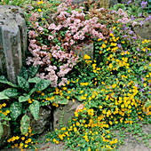 Pink SEDUM AND Lysimachia NUMMULARIA (CREEPING Jenny) at THE Base of THE ROCKERY. PREEN MANOR Garden, SHROPSHIRE