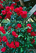 ROSE 'PAUL'S SCARLET' CLIMBS THE Pergola IN THE Formal Garden at WOLFSON COLLEGE Garden, Oxford