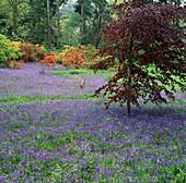 BLUEBELLS AND BRILLIANT Orange GHENT AZALEAS IN THE DELL at DUCKYLS Garden, Sussex