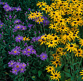 RUDBECKIA Goldsturm AND Aster 'KING GEORGE'. WATERPERRY GARDENS, OXFORDSHIRE