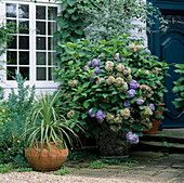 Blue Hydrangea & PUYA CHILENSE IN CONTAINERS by Front DOOR at OSLER RD, Oxford