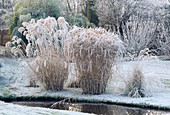 GRASSES (MISCANTHUS ZEBRINUS AND MISCANTHUS 'Silver FEATHER' by THE Pool at BROOK Cottage, OXFORDSHIRE]