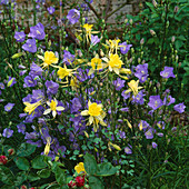 Yellow AQUILEGIA (UNNAMED VARIETY). AND CAMPANULA PERSICIFOLIA, MOTTISFONT ABBEY, HAMPSHIRE.