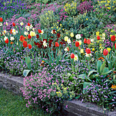 SPRING BEDDING with TULIPS, DAFFODILS, Forget-Me-Nots, WALLFLOWERS, Muscari, ALYSSUM, AUBRIETA & CANDYTUFT