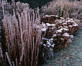 FROSTED SEDUM 'HERBSTFREUDE'IN THE HERBACEOUS BORDERS at THE Old RECTORY, BURGHFIELD, Berkshire