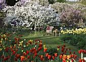 Frühlingsgarten mit Tulipa (Tulpen) und Malus floribunda (Zier-Apfel)