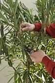 Mann schneidet verblühte und kranke Triebe von Nerium (Oleander) ab