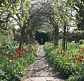 SPRING: BRIGHT Red Tulipa 'APELDOORN' Line COBBLED PATH RUNNING THROUGH THE LABURNUM Tunnel / ARCH. BARNSLEY HOUSE Garden, Gloucestershire