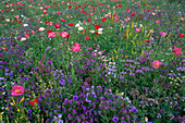 MELILOTUS, WILDFLOWERS AND PAPAVER RHOEAS GROWING IN A MEADOW IN Holland