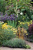 Blue / Yellow BORDER: CAMPANULA'Kent BELLE', ARGYRANTHEMUM 'Jamaica PRIMROSE', Achillea MOONSHINE. THE Garden HSE,GLOS