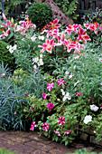 PETUNIA, MARGUERITES AND STARGAZER LILIES Mrs ADAMS' London Garden / DESIGN Anthony Noel