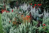 Artemisia PONTICA, DAHLIA 'BISHOP of LLANDAFF', ALONSOA MERIDIONALIS. TUINEN Ton TER LINDEN, Holland