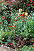PAPAVER SOMNIFERUM(Red),ROSE ALTISSIMO,LYCHNIS CHALCEDONICA CRYPTOTAENIA JAPONICA. HADSPEN HOUSE Garden, Somerset