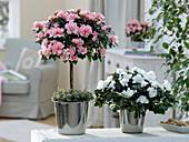 Rhododendron simsii Stamm 'Christine Matton' lachsfarben, 'Christine Belli'