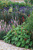 ECHINOPS 'VEITCH'S Blue',VERONICA 'Pink DAMASK' AND PERSICARIA AMPLEXICAULIS 'FIREDANCE'.BURY Court, Hampshire