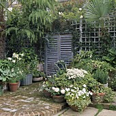 SMALL Town Garden: FALSE French SHUTTERS On WALL with TRELLIS AND POTS of White BEGONIA,LILIES,HOSTA,Viola AND ARGYRANTHEMUM. Designer: Jean BIRD