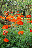 ORIENTAL POPPIES UNDER Apple TREES