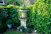 SMALL Town Garden: STONE Urn FLANKED From RIGHT TO LEFT with A WEEPING MULBERRY, PITTOSPORUM TOBIRA AND MELIANTHUS MAJOR. Designer: Jonathan BAILLIE