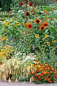 Hot PLANTING with HORDEUM JUBATUM, TAGETES PATULA 'Red MARIETTA', HELIANTHUS ANNUUS 'VELVET Queen', HELIANTHUS annus 'Sonja', Delphinium 'Butterfly Blue' AND TANECETUM 'BALLS White'