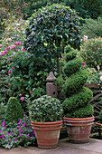 Box TOPIARY SPIRALS AND BALLS On A SOUTH FACING TERRACE, RANI Lal'S Garden, OXON