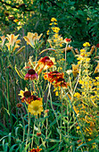 Gaillardia 'GOBLIN', Lysimachia PUNCTATA AND HEMEROCALLIS 'BONANZA'. ARROW Cottage, Herefordshire