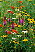 PRAIRIE PLANTING: RUDBECKIA FULGIDA 'Goldsturm', Echinacea 'White SWAN', LIATRIS Spicata AND CROCOSMIA MASONORUM. Lady Farm, Somerset