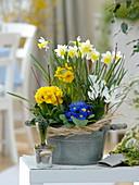 Frühling im Zimmer : Narcissus (Narzissen), Primula acaulis , elatior (Primel