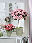 Rhododendron simsii 'Christine Matton' Stamm , 'Christine Magic' Busch