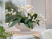 Phalaenopsis 'Mini Mark' (Malayenblume, Schmetterlingsorchidee)