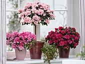 Rhododendron simsii 'Christine Matton' Stamm