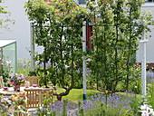 Malus (Äpfelbäume) in Doppel - U - Form an Stütze befestigt
