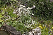 Leontopodium alpinum (Edelweiß) blühend im kleinen Alpinum, Sedum acre