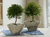 Myrtus communis (Myrten - Bäumchen) in konischen Töpfen