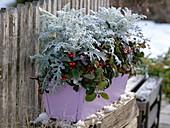 Winterliche Bepflanzung mit Cineraria maritima (Silberblatt), Gaultheria