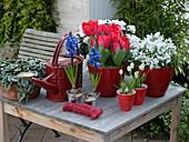 Tulipa 'Couleur Cardinal' (rote Tulpen), Campanula portenschlagiana