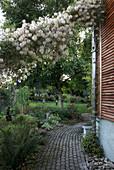 Weg am Haus mit Clematis tangutica (Gold-Waldrebe), gepflasterter Weg, Blick in den Garten
