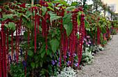 Amaranthus caudatus 'Pony Tails' (Fuchsschwanz) in Rabatte mit Ageratum (Leberbalsam), Salvia farinacea (Mehlsalbei), Lobularia syn. Alyssum (Duftsteinrich) , Cleome spinosa (Spinnenpflanze), Kiesweg