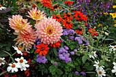 Dahlia 'Gallery Pablo' (Schmuck - Dahlie), Ageratum (Leberbalsam) und Zinnia (Zinnien), dazu ein Stück Franzosenkraut (Galinsoga parviflora)