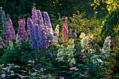 EVENING SUNLIGHT HIGHLIGHTS DELPHINIUMS IN A BORDER at THE ABBEY HOUSE, Wiltshire