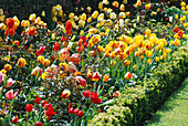 Mixed BORDER of TULIPS PLANTED with ROSES AND SURROUNDED with BUXUS SEMPERVIRENS. THE ABBEY HOUSE, WILTSHIRE.