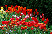 Mixed BORDER of TULIPS PLANTED with ROSES THE ABBEY HOUSE, WILTSHIRE.