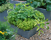 GALVANIZED STEEL CONTAINERS PLANTED with CELERY 'Golden BLANCHING', Origanum AND FLOWERING COURGETTES. THE Chef'S ROOF Garden, CHELSEA 1999.