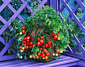 Container: TOMATO 'Tumbler' AND PARSLEY IN TERRACOTTA Strawberry POT. NICHOLS Garden, READING