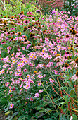 PERENNIAL PLANTING by CHRISTOPHER BRADLEY-HOLE: Echinacea PURPUREA, Anemone X HYBRIDA 'PAMINA', PERSICARIA AMPLEXICAULIS 'FIREDANCE' AND Verbena BONARIENSIS