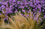 PERENNIAL PLANTING by CHRISTOPHER BRADLEY-HOLE: STIPA TENUISSIMA AND Aster X FRIKARTII 'MONCH'