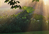 EARLY MORNING MISTY RAYS of SUNSHINE OVER GUNNERA MANICATA. NYEWOOD HOUSE, West SUSSEX.