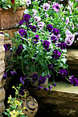 STEPS OUTSIDE THE KITCHEN DOOR with Pot PLANTED with Purple PANSIES. LISETTE PLEASANCE'S London Garden
